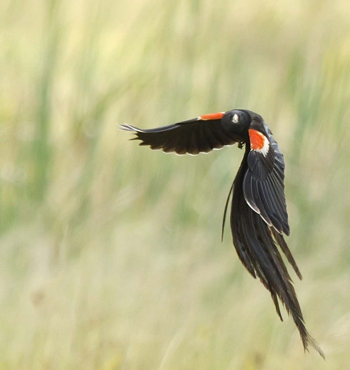 Long-tailed widow, http://vmus.adu.org.za/?vm=BirdPix-1524