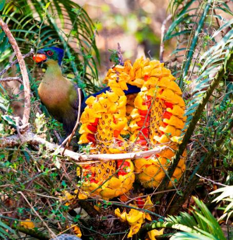 Figure 2: Purple-crested Turaco Gallirex porphyreolophus feeding on fruit of Encephalartos villosus (likely species) at Ithala Game Reserve, KZN in Sept 2016. (Photo: Warwick Tarboton).