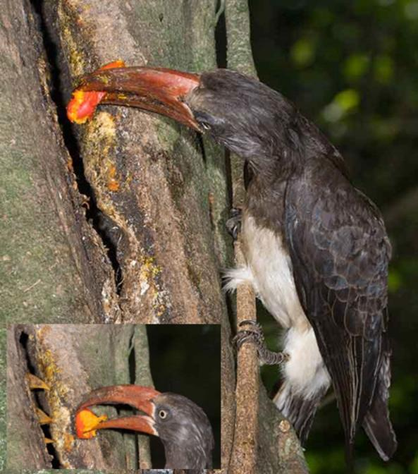Figure 5: Crowned Hornbill returning cycad fruit to a nest in Eshowe (likely species Encephalartos lebomboensis; Photo: Hugh Chittenden).