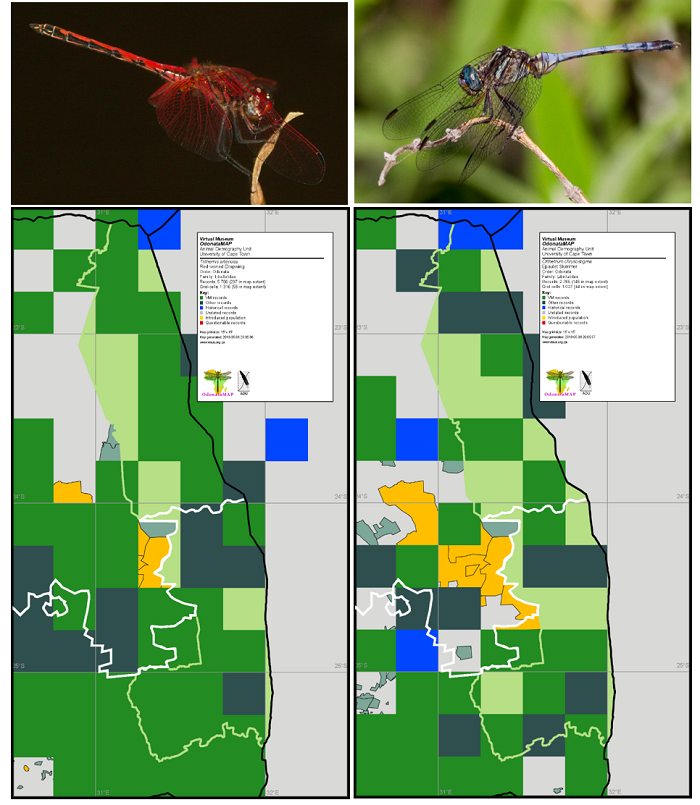Figure 4. Distribution maps for the Red-veined Dropwing *Trithemis arteriosa* and the Epaulet Skimmer *Orthretrum chrysostigma* in the Kruger National Park and surrounding areas. The Red-veined Dropwing has been recorded in 33 of the 52 QDGCs which intersect with the Kruger National Park, the most widespread species, and the Epaulet Skimmer in 24. The distribution beyond the Kruger National Park is displayed on these maps.