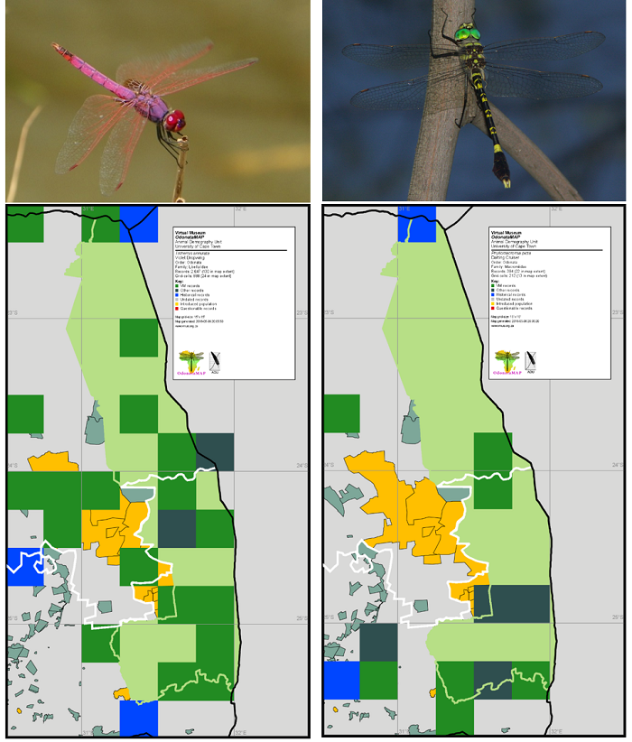 Figure 5. Distribution maps for the Violet Dropwing *Trithemis annulata* and the Darting Cruiser *Phyllomacromia picta* in the Kruger National Park and surrounding areas. The Violet Dropwing has been recorded in 16 of the 52 QDGCs which intersect with the Kruger National Park and the Darting Cruiser in eight. The distribution beyond the Kruger National Park is displayed in these maps.