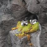 Figure 1: A pair of Pintado petrels nesting on a Crassula covered ledge on Marion Island.