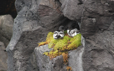 Figure 1: A pair of Pintado petrels nesting on a Crassula covered ledge on Marion Island.