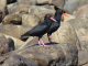 Figure 1. African black oystercatcher pair, Western Cape Province, South Africa. Photographer © Robert Thomson. Record 22446 in the BirdPix section of the ADU Virtual Museum. Full details available at http://vmus.adu.org.za/?vm=BirdPix-22446