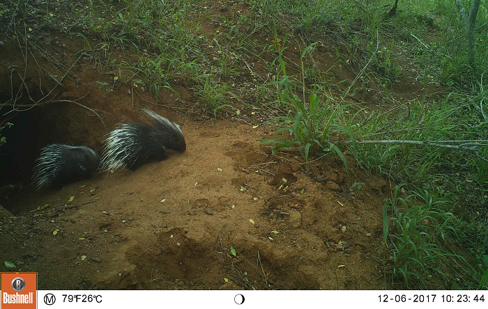 Figure 1. Two young porcupines outside of the den.