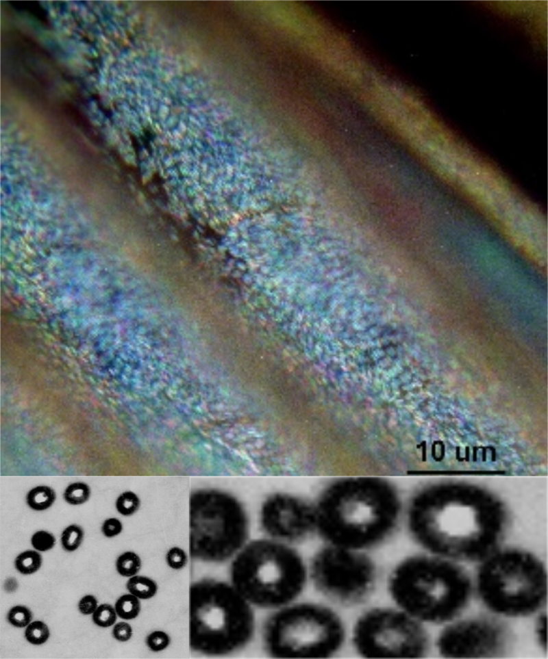 Fig.1. Iridescence of a Violet Woodhoopoe *Phoeniculus d. damarensis* captured through a light microscope (left) and central distribution (centre) and peripheral distribution (right) through a transmission electron microscope.