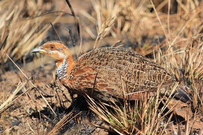 Figure 17. Red-winged francolin, Malawi. Photographers © G, C and F Brown. Record 2949 in the BirdPix section of the ADU Virtual Museum. Full details available at http://vmus.adu. org.za/?vm=BirdPix-2949