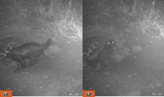 Figure 2. Composite image showing the honey badger entering the den (left), and leaving the den carrying a young porcupine in its jaws (right).