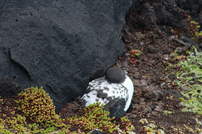 Figure 2: An incubating Pintado petrel at a typical nest site