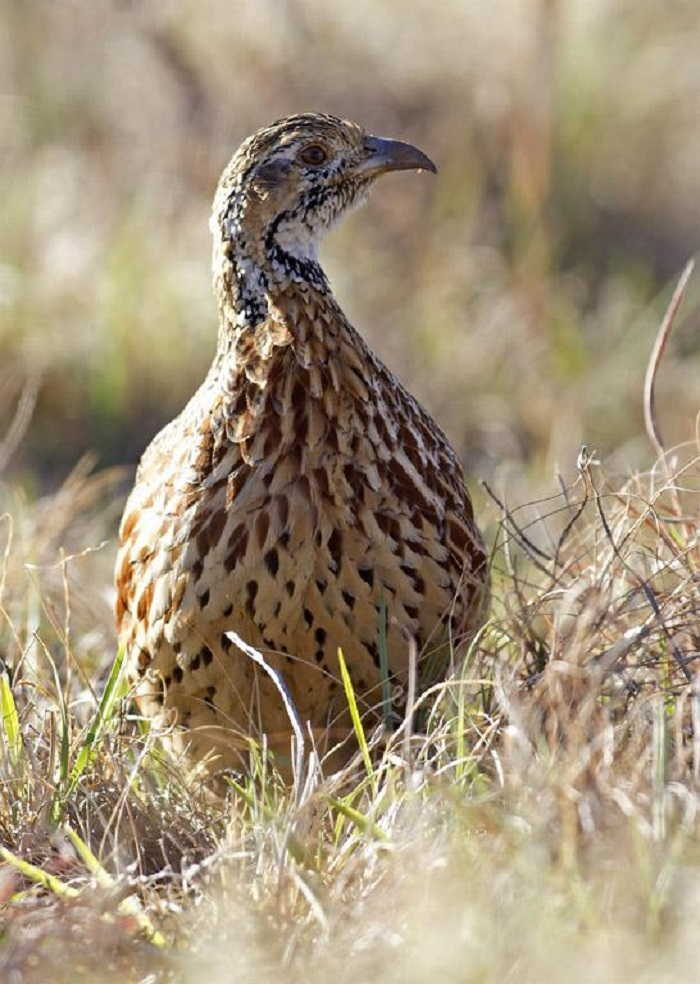 Figure 21. Orange River francolin, North-West Province. Photographer © SW Evans. Record 652 in the BirdPix section of the ADU Virtual Museum. Full details available at http://vmus. adu.org.za/?vm=BirdPix-652