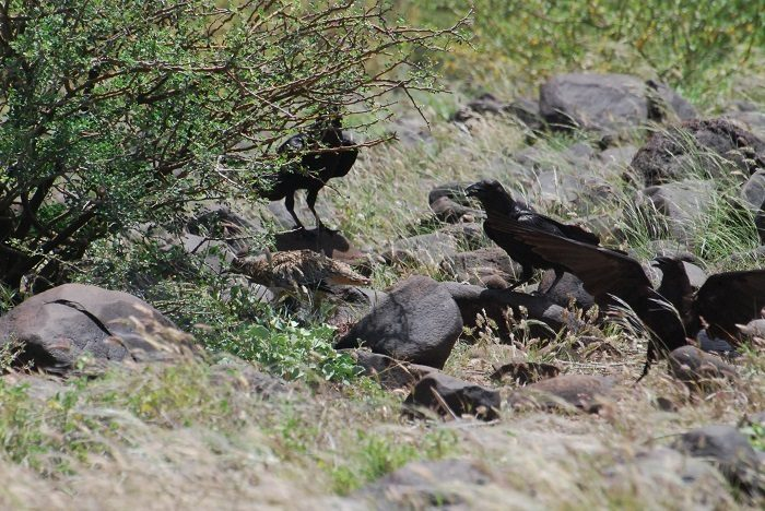 Figure 1: Dwarf ravens landed near a bush with spotted thick-knees in Turkana. (c) PS Wairasho