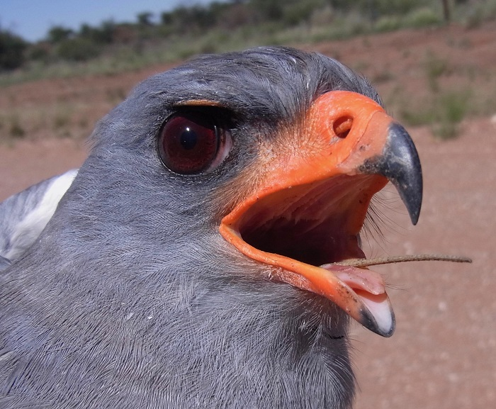 Adult female, the tail of a lizard still sticking out of her beak. Safring ring number 723669, ringed north of Witvlei, Namibia (22 deg 24'S; 18 deg 30'E).