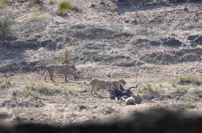 Figure 1. Four lionesses feeding on the kudu carcass. (c) J de Castro and M de Castro.