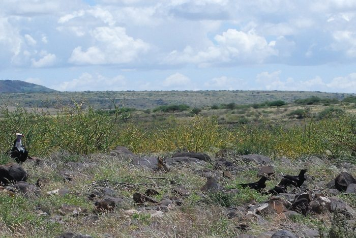 Figure 11: A white-headed vulture (Trigonoceps occipitalis) landed near the ravens. (c) PS Wairasho.