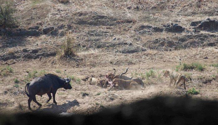 Figure 11. Second charge by buffalo. (c) J de Castro and M de Castro.