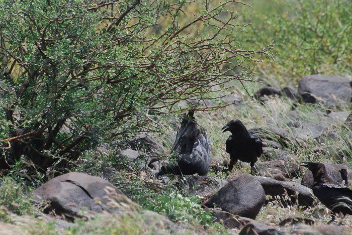 Figure 2: The ravens entered the bush. (c) PS Wairasho.