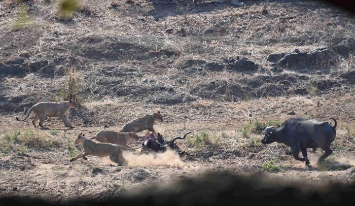 Figure 2. First charge by most aggressive buffalo. (c) J de Castro and M de Castro.