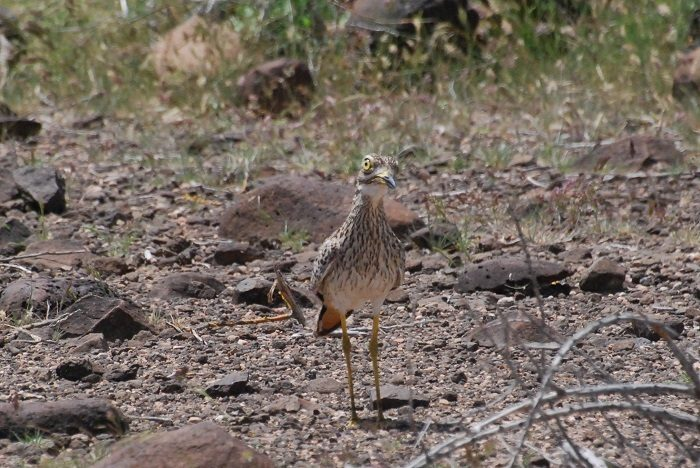 Figure 3: Spotted thick-knee. (c) PS Wairasho