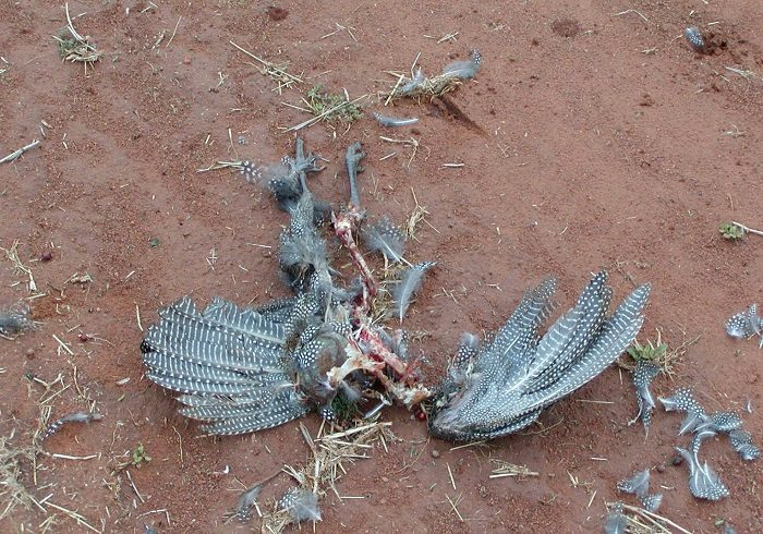 The remains of the helmeted guineafowl. (Photo credit: Lyn Williams)