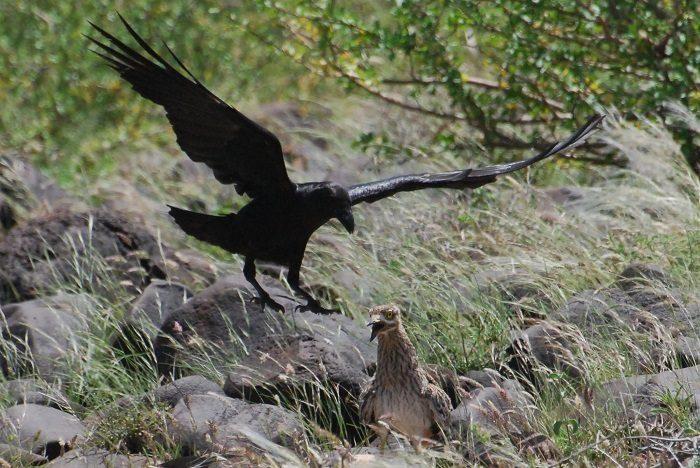 Figure 5: Dwarf ravens pursued the juvenile thick-knee. (c) PS Wairasho