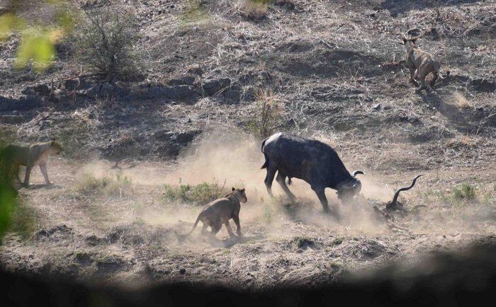 Figure 5. Buffalo thrashing the kudu carcass. (c) J de Castro and M de Castro.