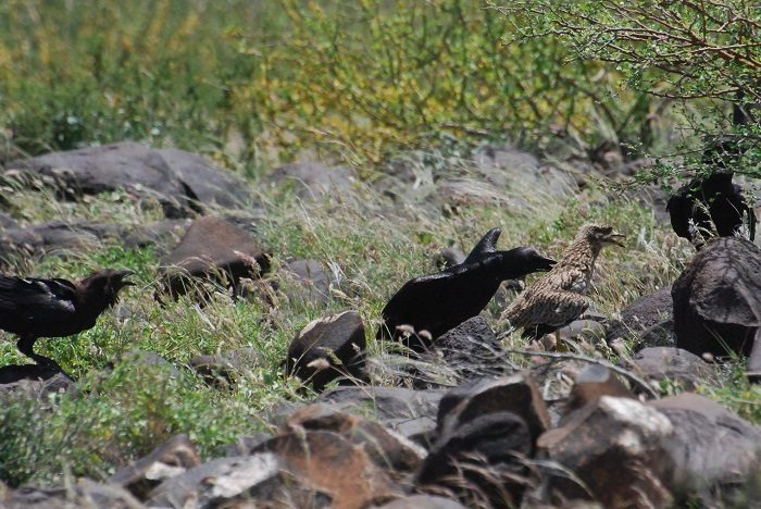 Figure 6: Dwarf ravens attacked the thick-knee. (c) PS Wairasho