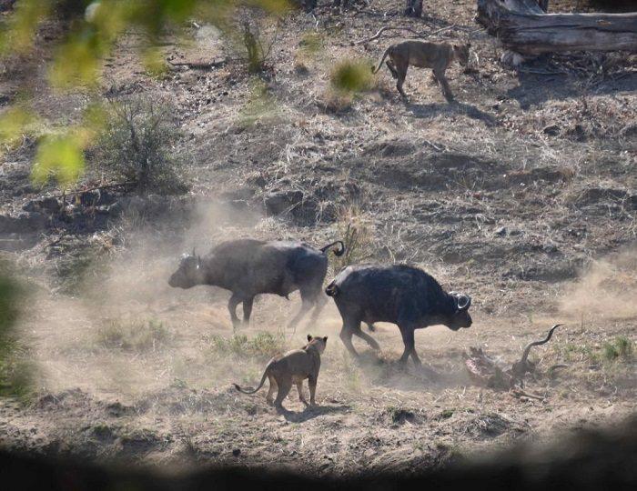 """Figure 6. Buffalo """"controlling"""" the area once the lions left. (c) J de Castro and M de Castro."""