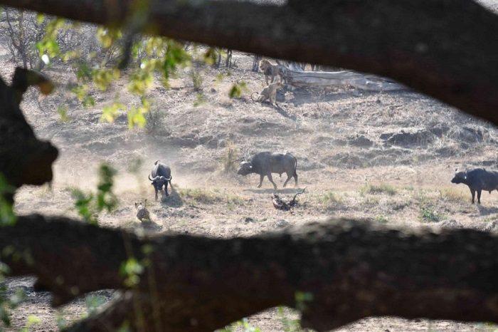 """Figure 7. Buffalo """"controlling"""" the area once the lions left. (c) J de Castro and M de Castro."""