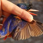 E16147 oldest known Malachite Kingfisher