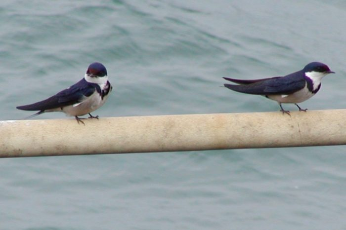 Pair-of-adult-White-throated-Swallows