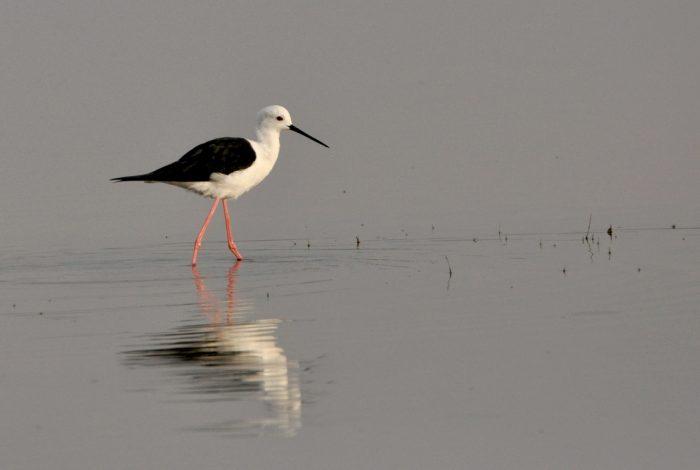 Black-winged Stilt, Karoo Gariep Nature Reserve