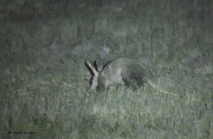 Aardvark, Karoo Gariep Nature Reserve