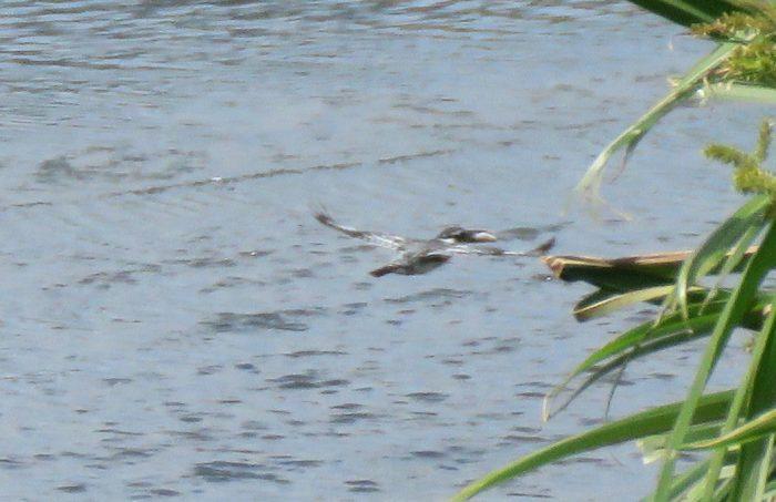Pied Kingfisher, Black River, Paarden Eiland
