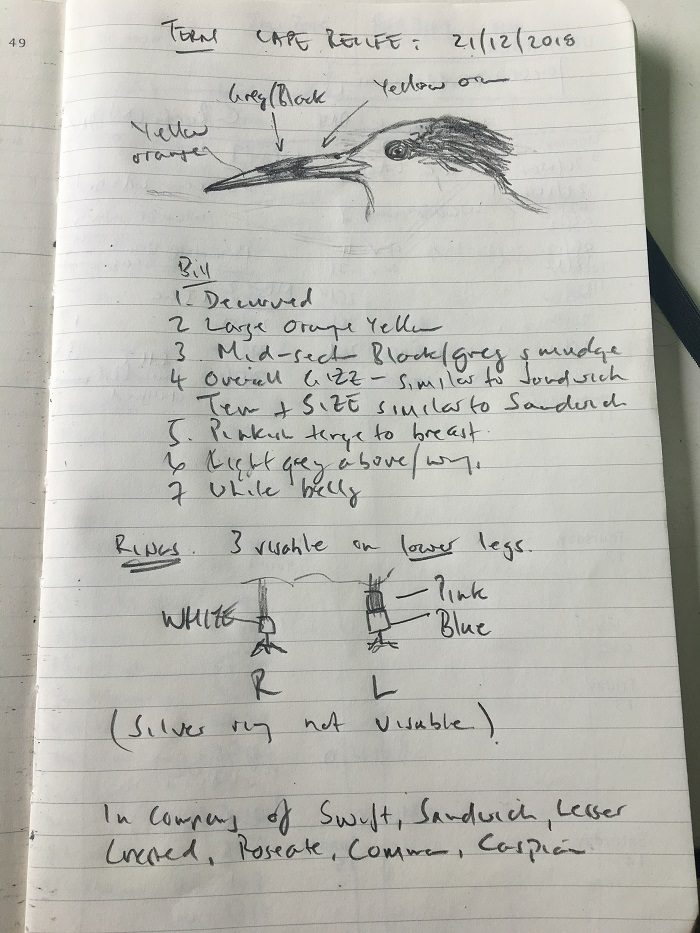 Figure 1. Field notes - elegant/Sandwich tern hybrid?