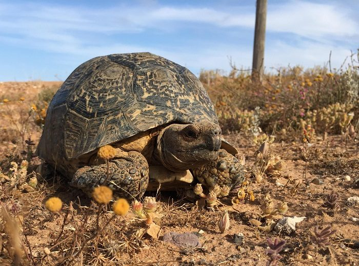 Figure 2. A live adult female leopard tortoise (Stigmochelys pardalis) removed from a dirt road near Lambert's Bay, Western Cape, South Africa; well outside of the species presumed native range.