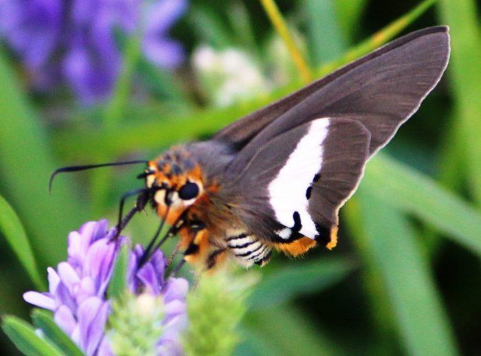 Two-pip Policeman butterfly Coeliades pisistratus in Kuruman