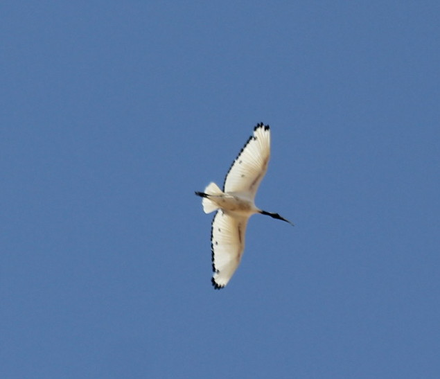 African Sacred Ibis in moult. Blue sky bird