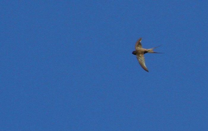 African Palm Swift. Blue sky bird