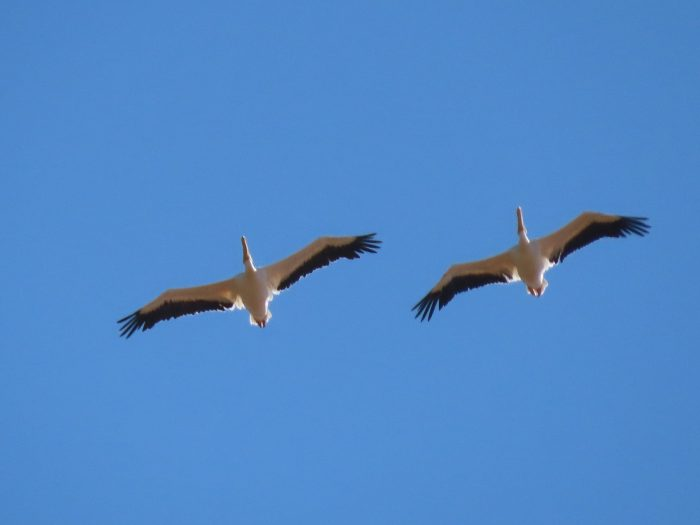 Great White Pelicans. Blue sky bird