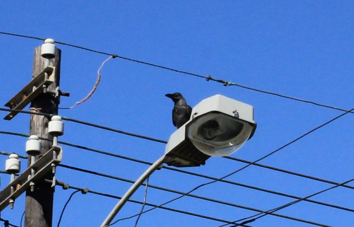 House Crow and street furniture. Blue sky bird