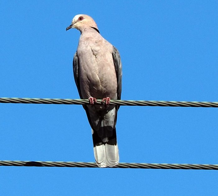 Red-eyed Dove on electricity line. Blue sky bird