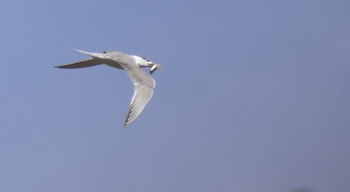 Swift Tern with fish. Blue sky bird