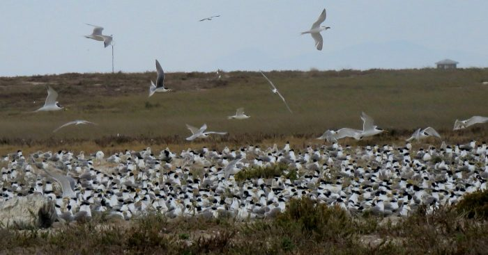 Swift Tern colony on Robben Island