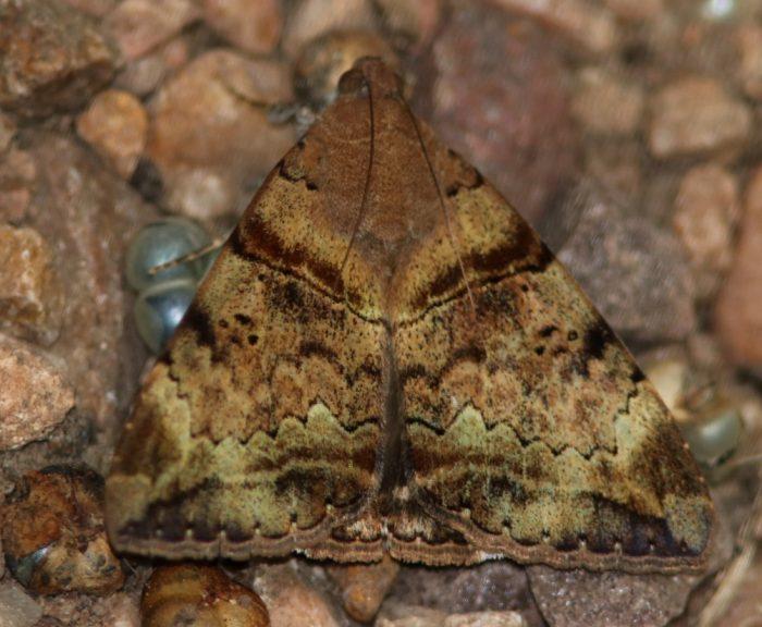 Mozart moth Achaea lienardi from Kloof, KwaZulu-Natal