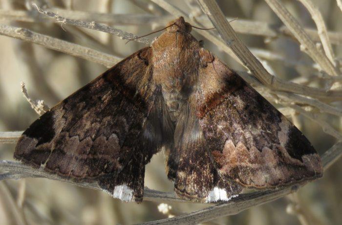 Mozart moth Achaea lienardi from Luderitz,  Namibia