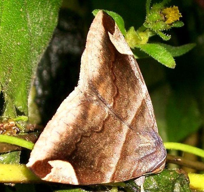 Mozart moth Achaea lienardi from Amanzimtoti, KwaZulu-Natal