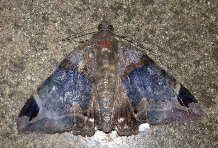 Mozart moth Achaea lienardi from Mwambwa Field Station, coast of Kenya