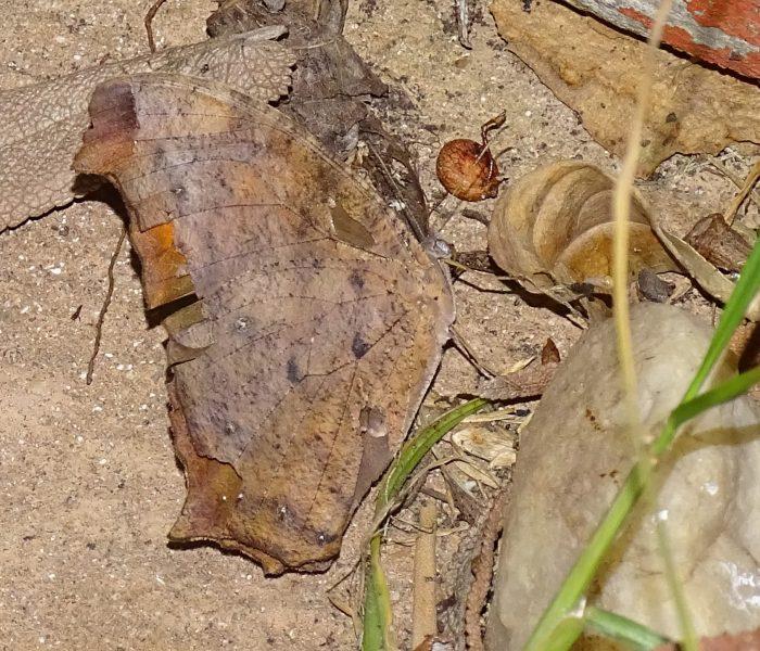 Common Evening Brown Melanitis lada at Bushmanskloof in the northern Cederberg