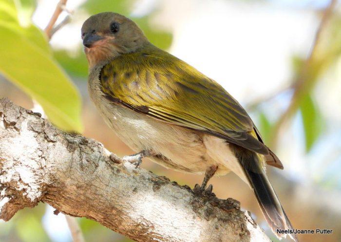 Lesser Honeyguide (c) Neels/Joanne Putter BirdPix record 116397
