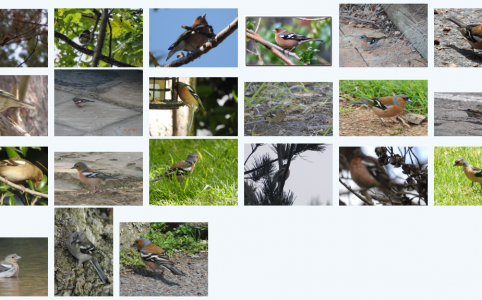 21 records of Common Chaffinch in BirdPix